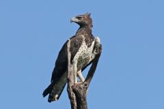 Martial_eagle_Polemaetus_bellicosus