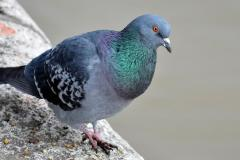 rock-dove